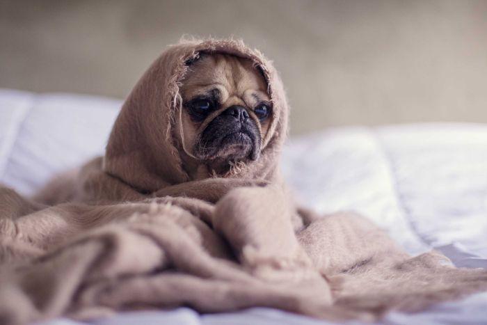 Köpeklere Neden Çikolata Verilmez