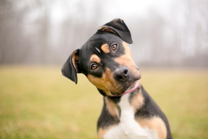 köpekler neden dillerini dışarı sarkıtır