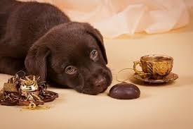 Köpekler Çikolata Yer mi?