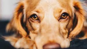 Köpeklerde Görülen Gençlik Hastalığı Nedir