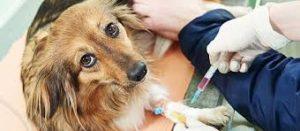Köpeklerde Kanlı İshal