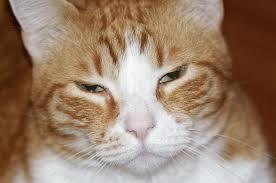 Kedilerde Görülen Böbrek Rahatsızlıkları İçin Ne Yapılmalı?