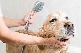 Köpek Temizliği Nasıl Yapılır