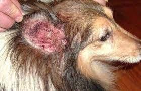 Kedi Ve Köpeklerde Mantar Enfeksiyonu