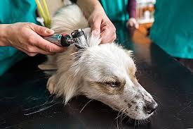 Köpeklerde Kronik Diyare Nedir