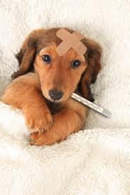 Barınaktan çıkan köpeklerde görülen hastalıklar