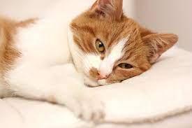 Kedi Nezlesi İnsana Bulaşır Mı?