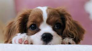 Dişi Köpeklerde Rahim Hastalıkları