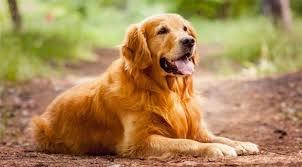 Evcil Hayvanlarda Kalp Paraziti Nedir