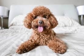 Köpeklerde -Vücut -Dili -Okuma- Sanatı