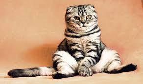 Kedilerde Fib Hastalığı