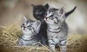 Kedilerde İdrar Yolu Hastalıkları