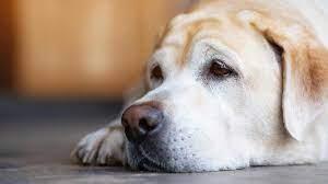 Köpeklerde Gençlik Hastalığı Belirtileri
