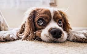 Köpeklerde Kısırlaştırma Gerekçeleri