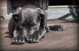 Köpeklerde Mide Hastalıkları Neden Olur?